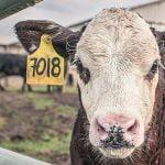 【閲覧注意】屠殺された牛の筋繊維がピクピク動くグロ動画。