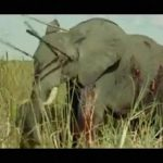 【閲覧注意】大勢でヤリを持ち動物を刺し殺すアフリカの狩猟民族。