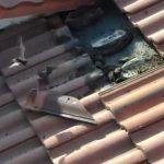 【衝撃映像】古い屋根を修理するため瓦を外してみた結果、とんでもない量のコウモリが・・・。