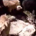 【閲覧注意】チベットの鳥葬文化。死体をハゲワシに食べさせるグロ動画。
