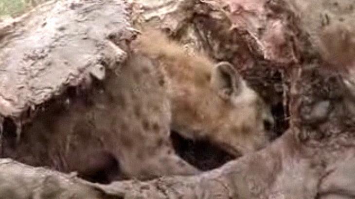 ハイエナ、キリンの腹の中にすっぽり入って肉を食らう。