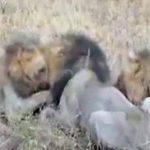 3頭の雌ライオンに食われてしまうイボイノシシ。叫び声がエグい・・・。