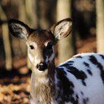 死んだふりがうますぎる鹿さん、ハンターを驚かせる。