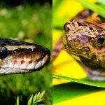 「ヘビ v.s カエル」異種捕食バトルの勝敗やいかに。