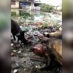 【閲覧注意】ブタさん、人間の死体をムシャムシャ食べてしまう・・・。