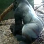 動物園のゴリラ、子どもたちが見ている前でセ●クスを始めてしまうww