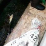 ワニ飼育場のお兄さん、1匹のワニ捕獲中に別のワニにふくらはぎの肉を抉られてしまう・・・。