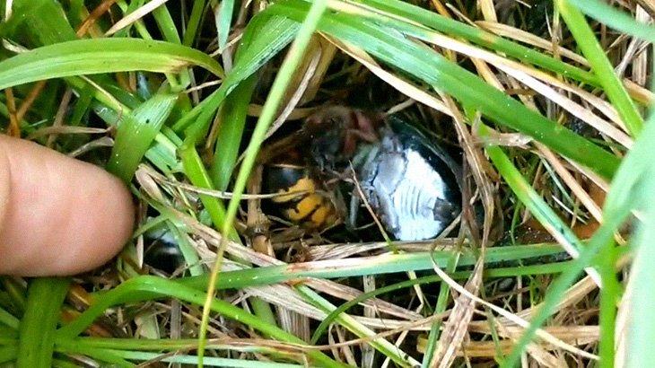 セミをムシャムシャ食べるスズメバチさん・・・。