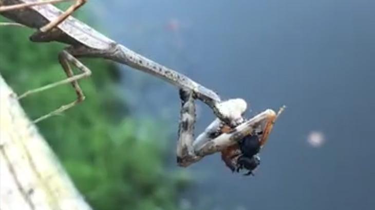 カマキリが捕食するだけの映像。
