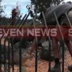 【衝撃映像】ワニの飼育員、パフォーマンス中に手を噛まれて水に引きずり込まれてしまう・・・。