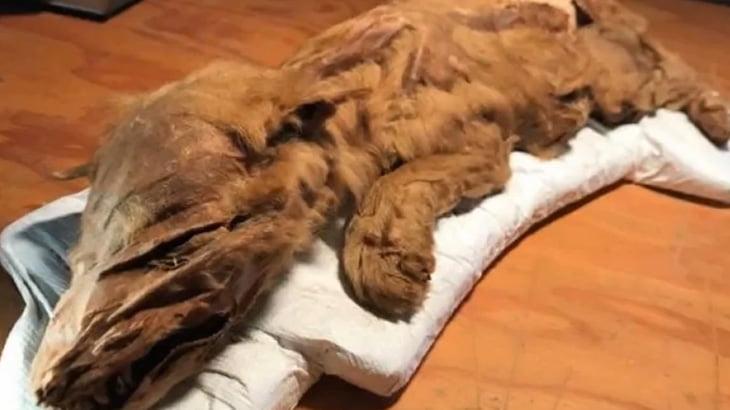 カナダで5万年前の動物の死骸が発見される。