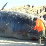 死んだクジラの身体にナイフで切り込みを入れた途端、大爆発するアクシデント。