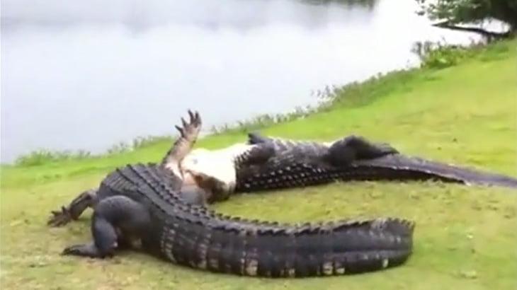 【衝撃映像】巨大ワニ vs 巨大ワニ。これもう恐竜だわ・・・。