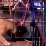 【衝撃映像】サーカスにてステージに上げられた観客がライオンに襲われてしまうアクシデント。