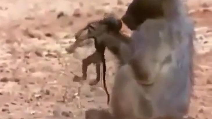 ワニに襲われたサルの家族、赤ちゃんを殺されてしまう・・・。