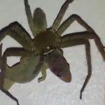 超巨大なクモ、トカゲを食ってしまう・・・。