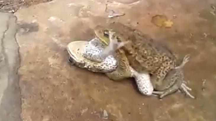 カエルさん、まるで人間のようなセックスをしてしまう。