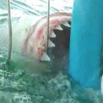 【衝撃映像】ホホジロザメを間近で見るツアー、めちゃくちゃ怖い・・・。