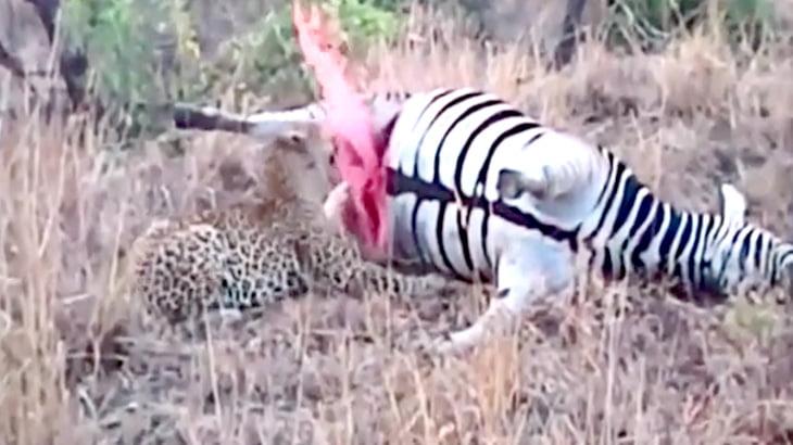 死んだシマウマを食べるヒョウ、突然吹き出した血しぶきにビックリ。
