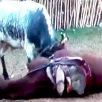 【衝撃映像】闘牛の角で内臓をえぐり出されてしまった馬・・・。