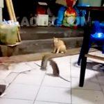 2匹の巨大ネズミの喧嘩を我関せず見守るネコ。