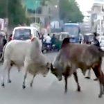 【閲覧注意】路上で喧嘩しはじめた2頭のウシ、バイクの男性を殺してしまう・・・。