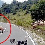 何かが気に食わなかったヒツジさん、羊飼いの女性をどつきまくる。
