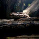 【閲覧注意】巨大ニシキヘビに丸飲みにされてしまった男性。