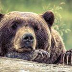 村人たちに棒で頭を殴られまくって殺されたクマ。