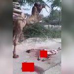 【閲覧注意】ラクダ飼いの男性、首を切断されて殺されてしまったグロ動画。