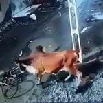 【衝撃映像】自転車に乗っていた男性、激おこ雄牛にどつかれまくる。