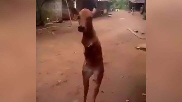 【衝撃映像】前脚の無い牛が後ろ脚だけで2足歩行する映像。