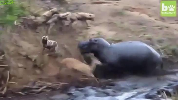 ハイエナに襲われていたシカをカバが救出する感動映像・・・と思いきや・・・。