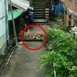 幼い男の子が4匹の野良犬に噛まれまくってしまう映像。