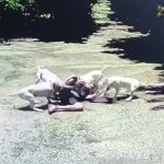 【衝撃映像】4匹のピットブルに襲われて体中を噛みつかれる男性の映像。