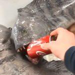 缶コーラを簡単に噛み潰してしまう殺傷力の高すぎる魚の映像。