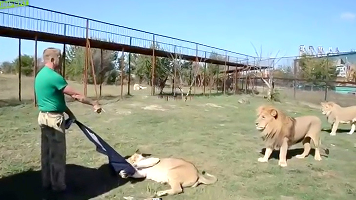 ライオンと友達すぎる男性の映像。