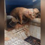 【閲覧注意】1頭の豚がシュレッダーで粉砕されるグロGIF画像。