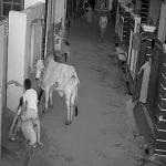 怒れる牛にどつかれてしまう女性と男の子の映像。