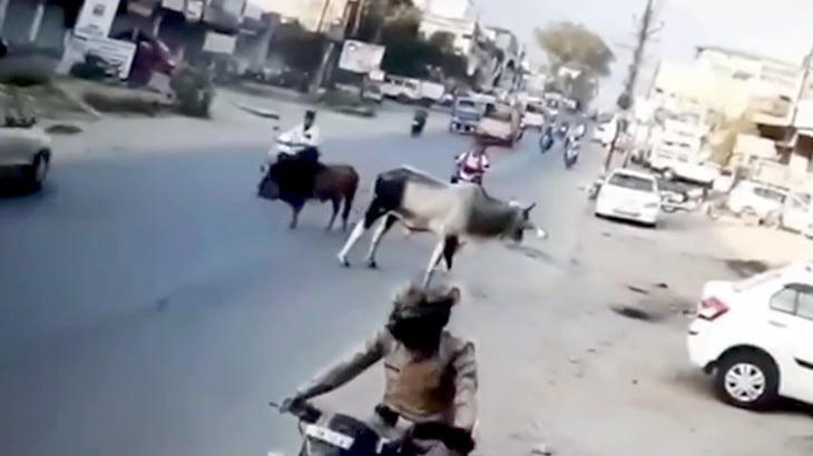 路上で突然喧嘩を始めた牛に突き飛ばされてしまうバイカーの映像。