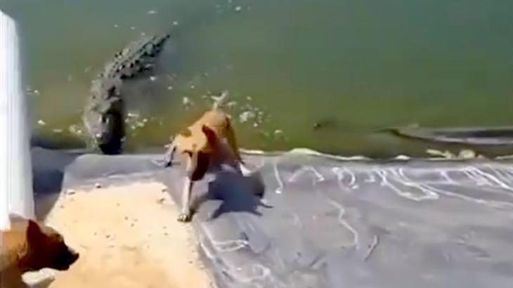 【閲覧注意】犬がワニのいる川にすべり落ちて食われてしまう映像。