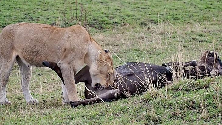 仕留めたヌーのチンコを食べるライオンの映像。