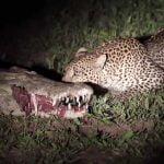 食べてる途中で寝てしまったワニの口から肉を奪っていくヒョウの映像。