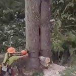 切り倒された木の中からクマが出てくる映像。