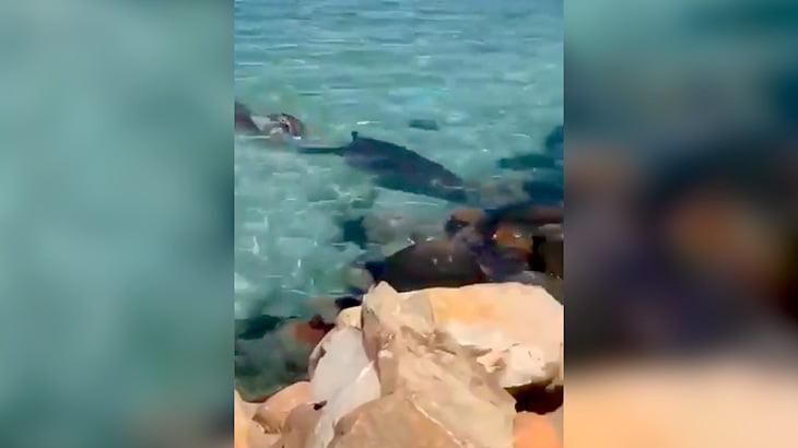アザラシに食われたサメの血で海が真っ赤に染まる映像。