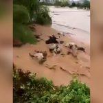 数十頭の牛が濁流に流されていく映像。