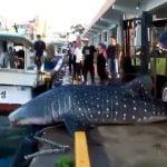 港に揚げられた巨大なジンベイザメが自ら海に帰っていく映像。