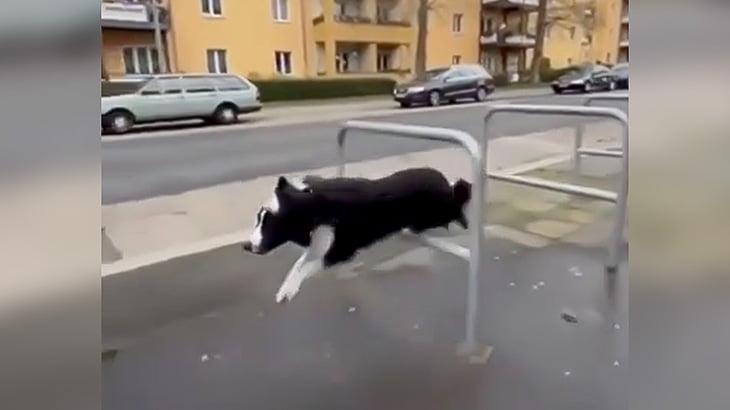歩道や公園を颯爽と駆け抜けるパルクール犬の映像。