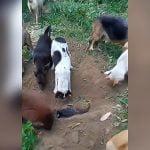数匹の犬が死んでしまった仲間を埋葬する映像。
