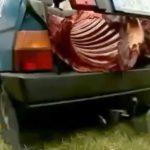 屠殺した馬を車に乗せて運んでいた男が逮捕されたニュース映像。